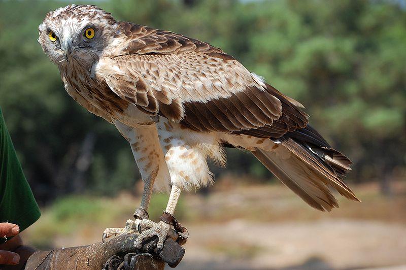 Cetaceos y Navegación - Aguila Culebrera