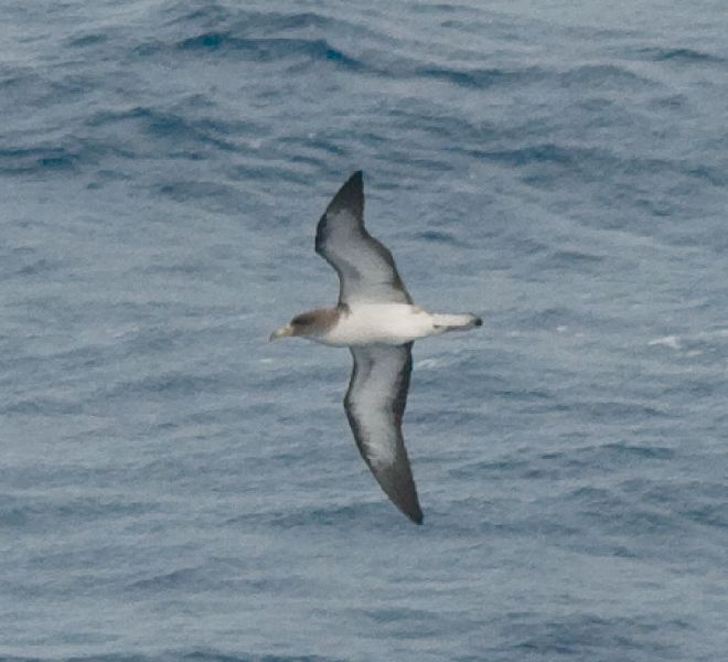 Cetáceos & Navegación - Calonectris diomede