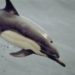 Cetaceos-&-Navegación-Delfin-comun