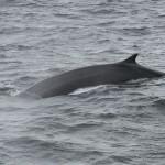 Cetaceos-&-Navegacion-Rocual-común