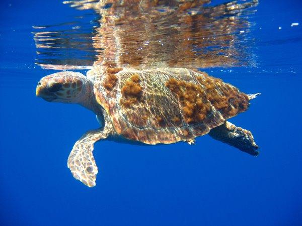 Cetaceos-&-Navegacion-Tortuga-boba