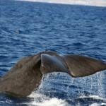 Cetaceos-&-Navegacion-cachalote