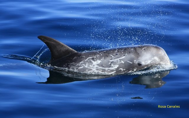 Cetaceos-&-Navegacion-calderon-gris