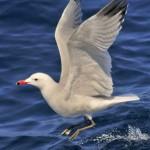 Cetaceos-&-Navegacion-gaviota-de-audouin