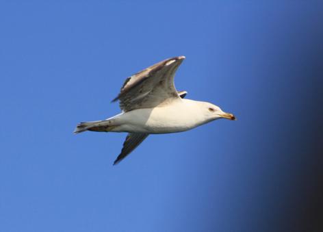 Aves marinas en Murcia