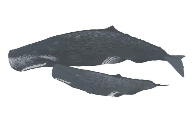 cachalote-delfines-de-lanzarote
