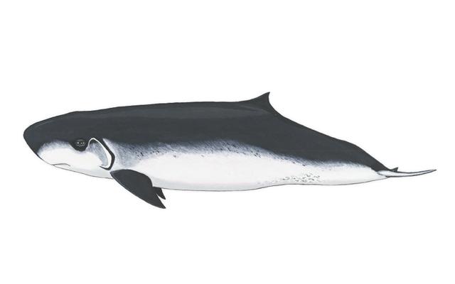 cachalote-pigmeo-delfines-de-lanzarote