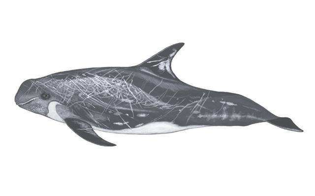 calderon-gris-delfines-de-lanzarote