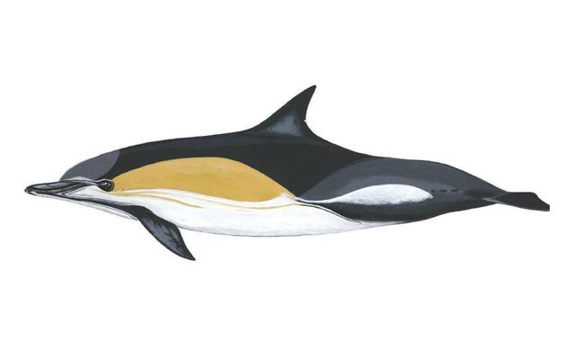 delfin-comun-delfines-de-lanzarote