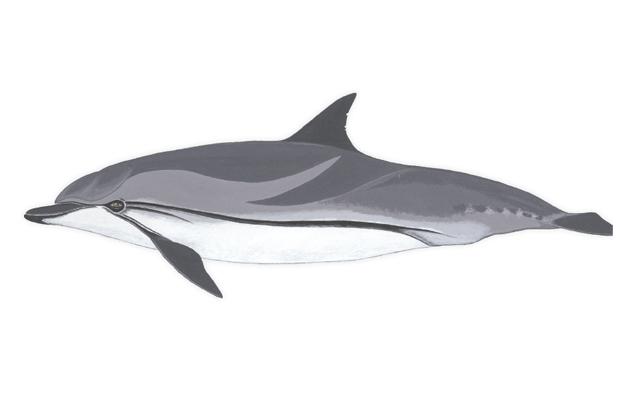delfin-listado-delfines-de-lanzarote